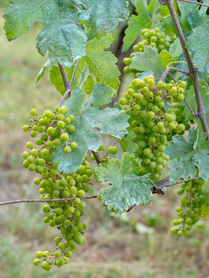 Wijnstok, blauw toe te schrijven aan van het fungicideaka van het kopersulfaat het mengsel van Bordeaux Organisch, blijkbaar stock foto's