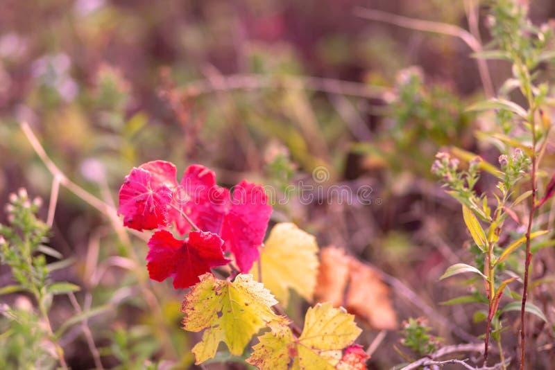 Wijnstok in de herfst De herfstwijngaard Zachte nadruk Gestemd beeld royalty-vrije stock afbeelding