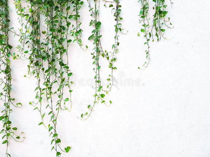 Wijnstok of de kruipende installatiegroei op de witte muurachtergrond met exemplaarruimte royalty-vrije stock afbeeldingen