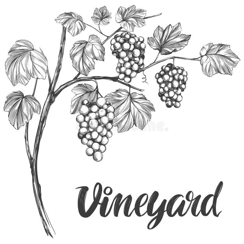 Wijnstok, druif, getrokken vector de illustratie realistische schets van de kalligrafietekst hand stock illustratie