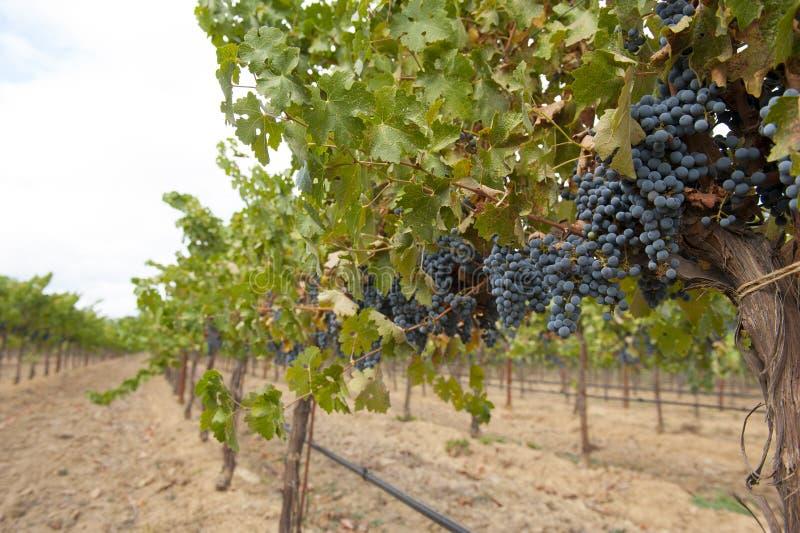 Wijnstok met het hangen van blauwe clusters stock afbeelding
