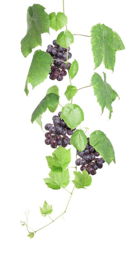 Wijnstok met rode geïsoleerdea druiven stock foto