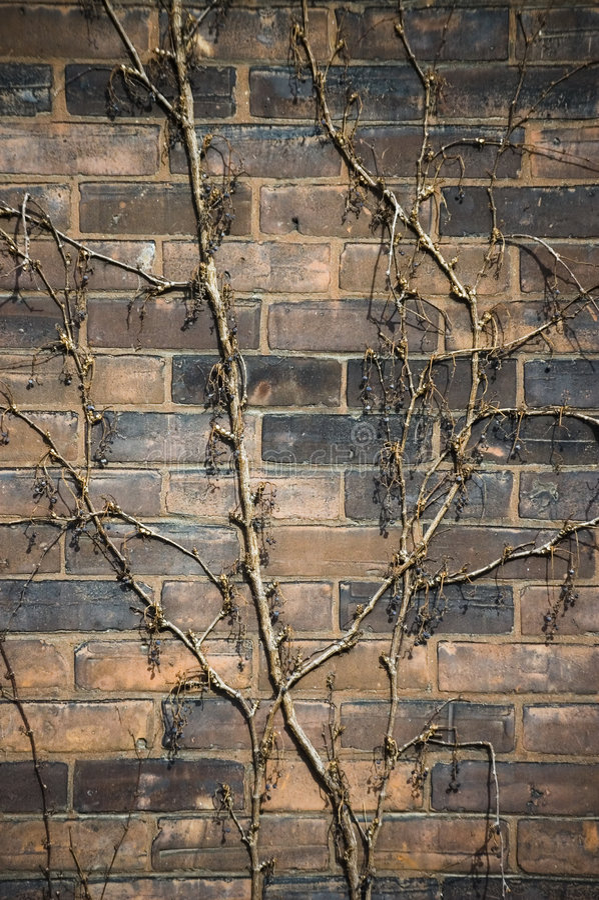 Wijnstok op een oude doorstane bakstenen muur royalty-vrije stock foto