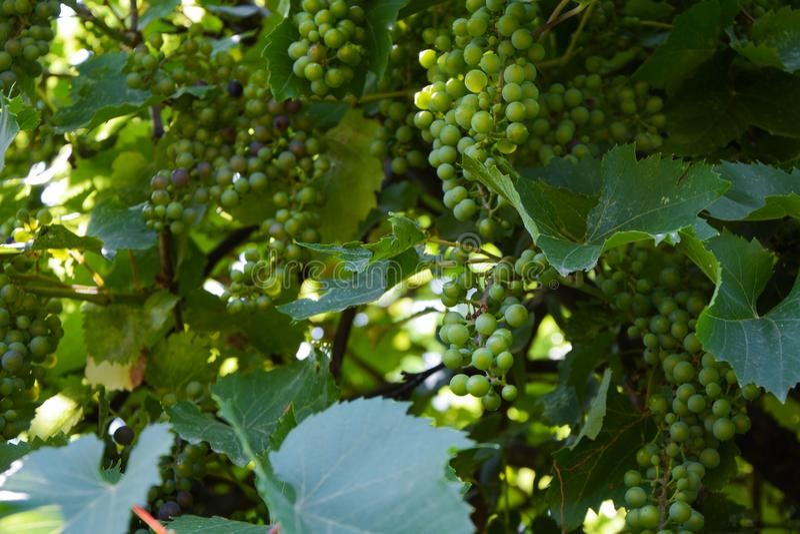 Wijnstok op een zonnige, groene achtergrond in de tuin stock afbeelding