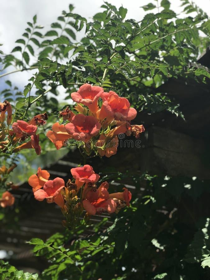 Wijnstok van de Campsis grandiflora, Chinese trompet royalty-vrije stock afbeelding