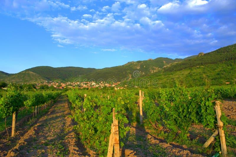 Wijnstokaanplantingen, Bulgarije stock afbeelding
