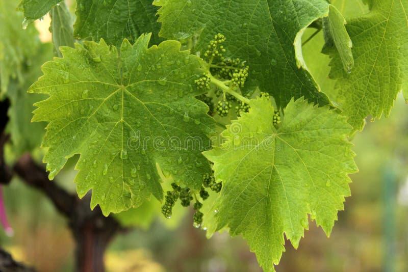 Wijnstokblad in de regen stock afbeelding
