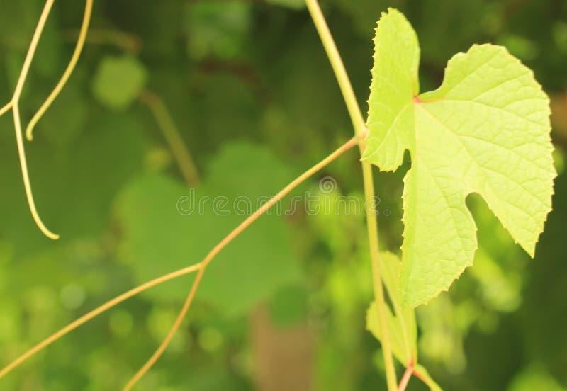 Wijnstokbladeren stock fotografie