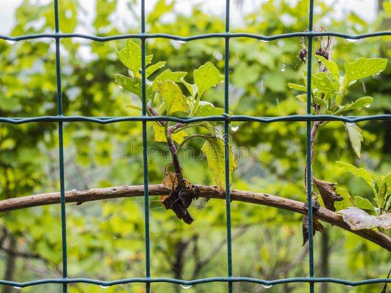 Wijnstokbladeren met dauw stock foto's