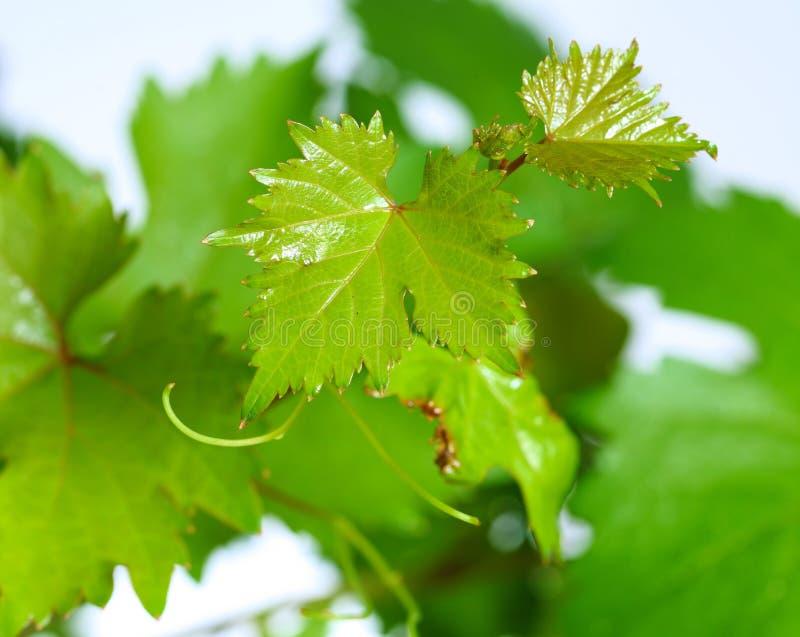 Wijnstokbladeren met waterdalingen op groene achtergrond worden geïsoleerd die stock foto's