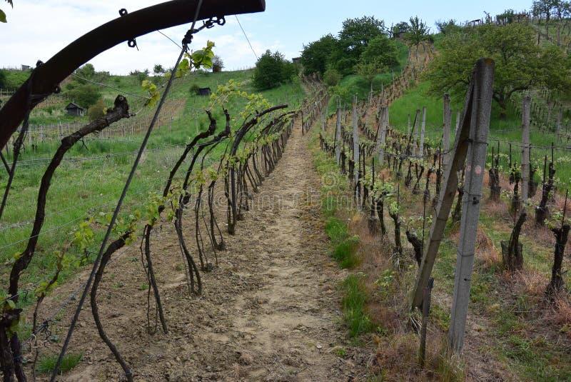 Wijnstokboomgaard, Tsjechische Republiek royalty-vrije stock afbeelding