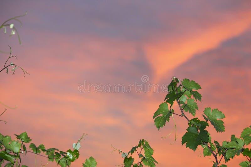 Wijnstokdetail over zonsonderganghemel royalty-vrije stock foto's