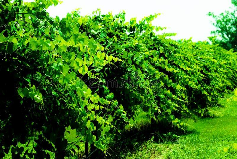Wijnstokken stock fotografie