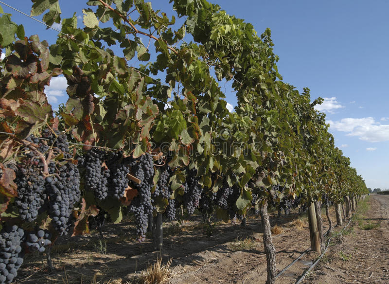 wijnstokken royalty-vrije stock afbeelding