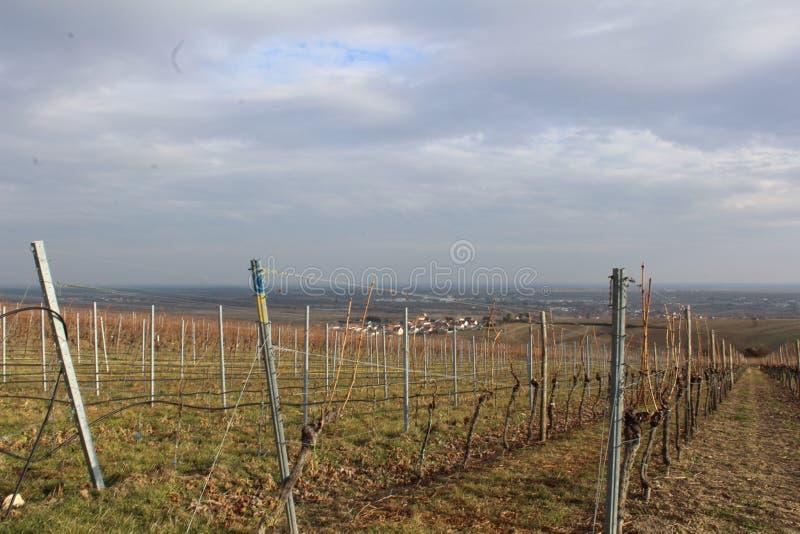 wijnstokken stock foto