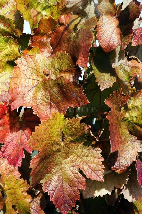 Wijnstokken in de herfst stock foto