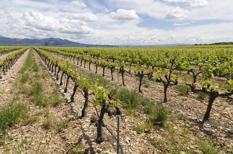 Wijnstokken in de Provence stock afbeeldingen