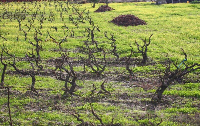 Wijnstokken in de winter - Alentejo stock fotografie