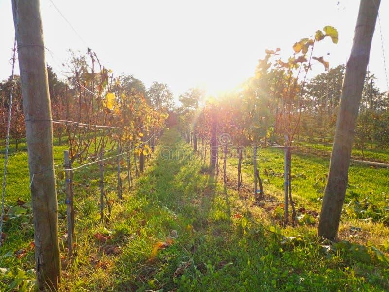 wijnstokken in de de zomertijd stock fotografie