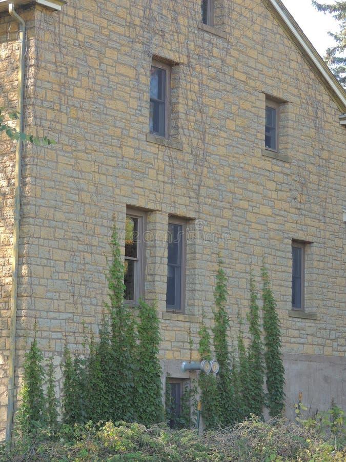 Wijnstokken die bij de bouw groeien stock foto