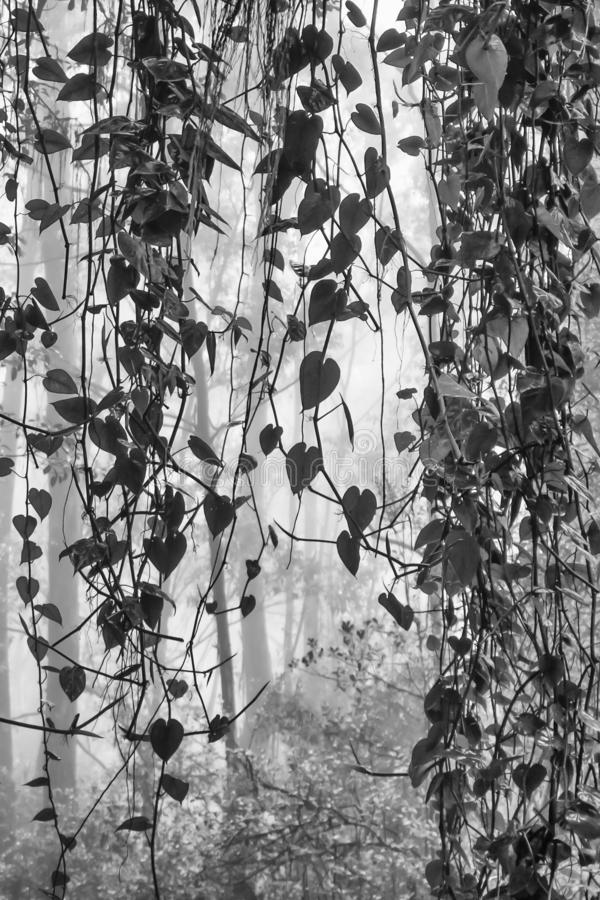 Wijnstokken die in Mistige Zwart-witte Wildernis hangen stock afbeeldingen