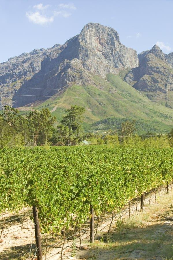 Wijnstokken die in Stellenbosch-wijngebied kweken, buiten Cape Town, Zuid-Afrika stock afbeelding