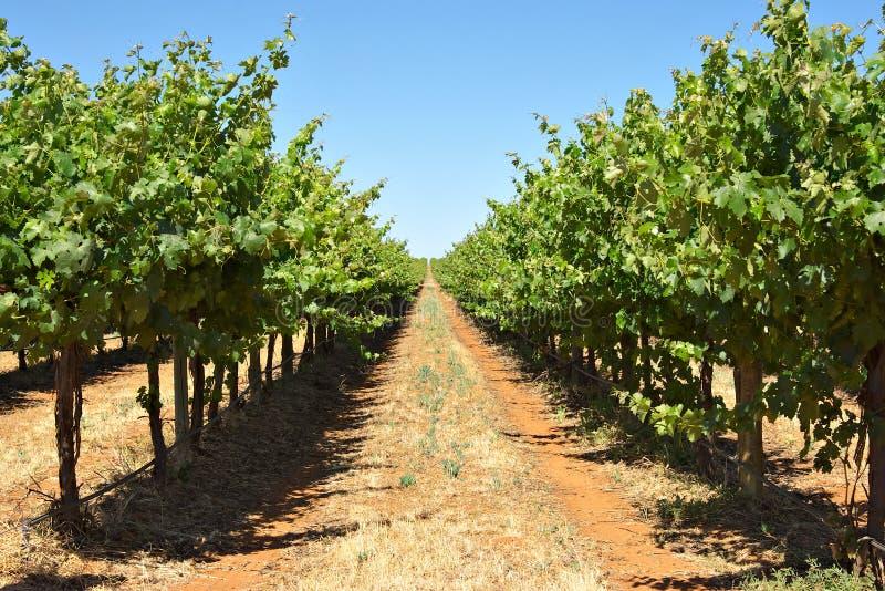 Wijnstokken in een rij royalty-vrije stock foto's