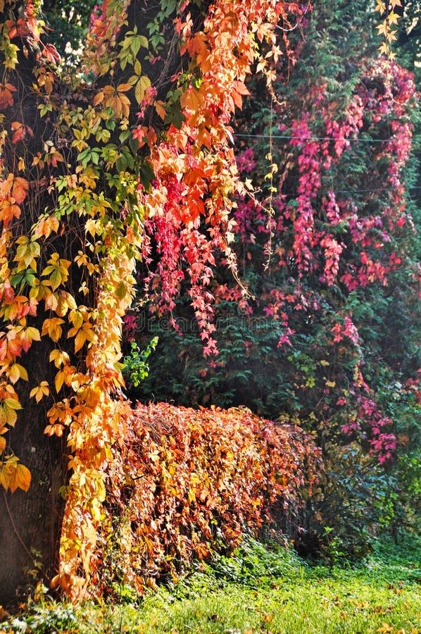 Wijnstokken op een boom, omheining stock afbeelding