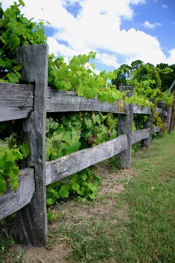 Wijnstokken op Omheining stock afbeeldingen