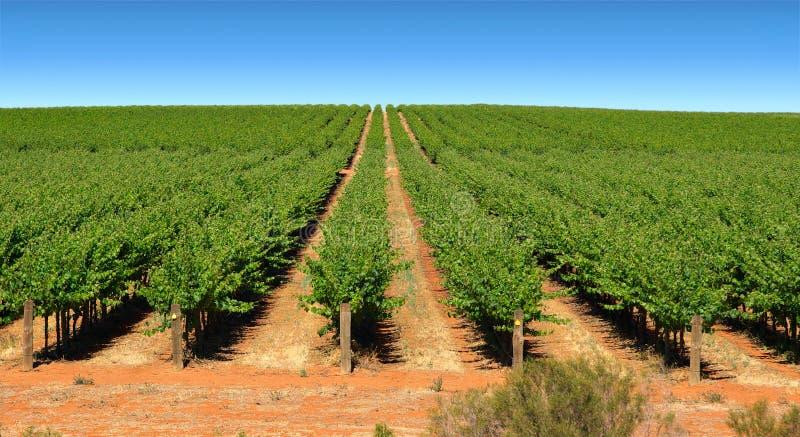 Wijnstokken in rijen op landbouwbedrijf royalty-vrije stock afbeelding