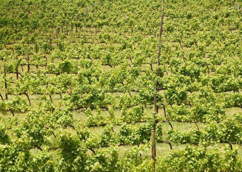 Wijnstokken, Stellenbosch, Zuid-Afrika royalty-vrije stock fotografie