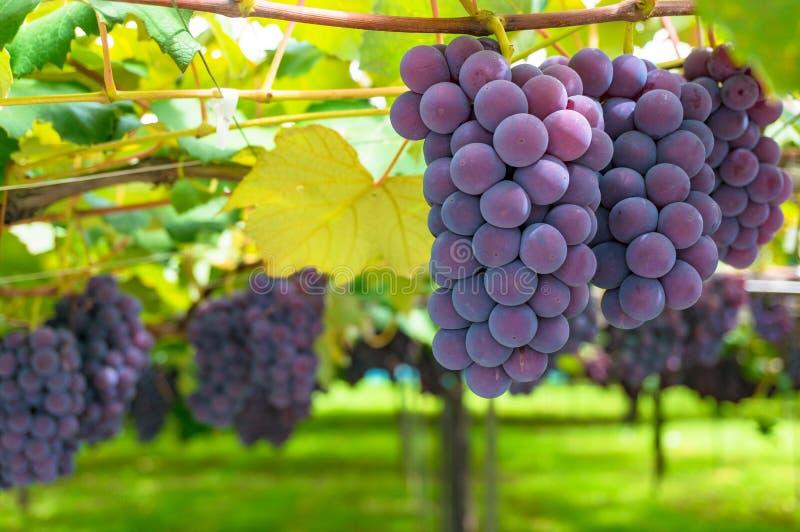 Wijnstokken van rijpe druif in wijngaard op zonnige dag royalty-vrije stock foto