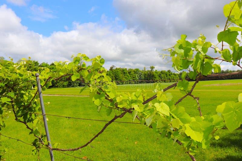 Wijnstokken vroeg in het Wijngaardseizoen royalty-vrije stock afbeeldingen