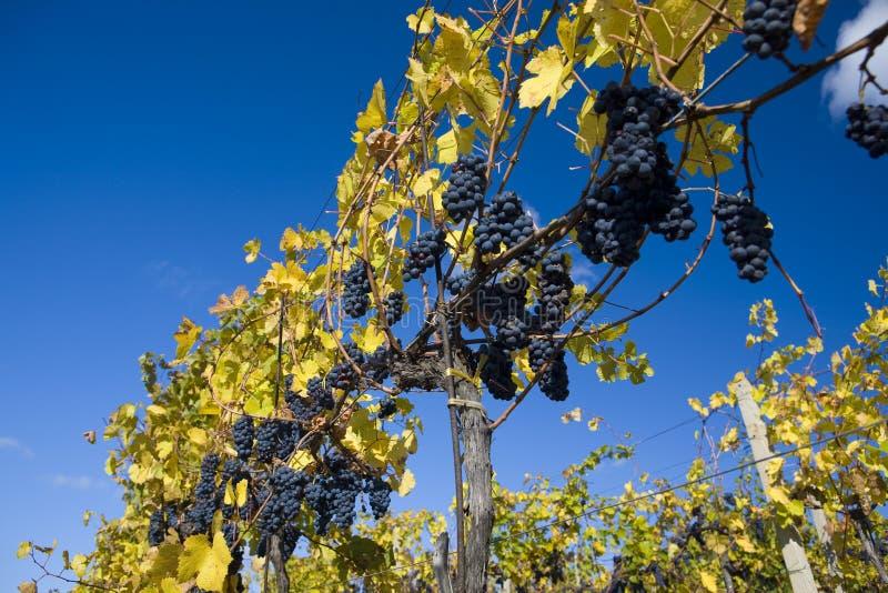 Wijnstokken in wijngaard stock foto