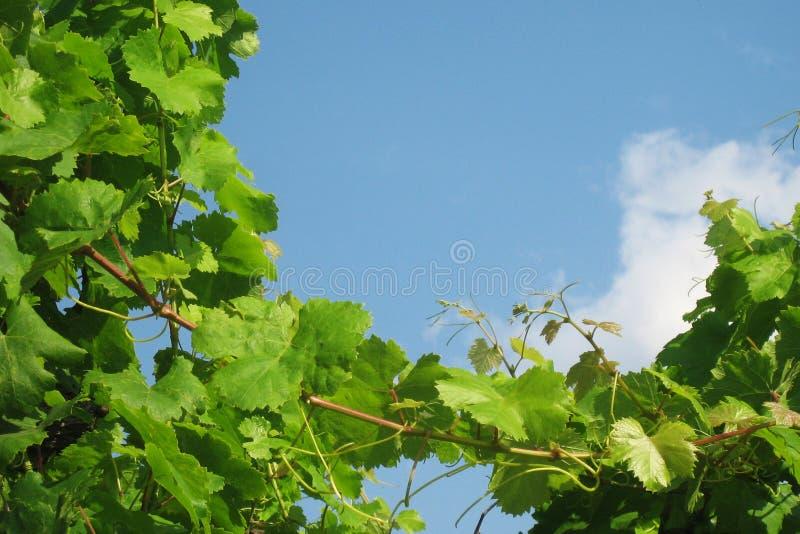 Wijnstokken in zuidelijk Italië stock foto's