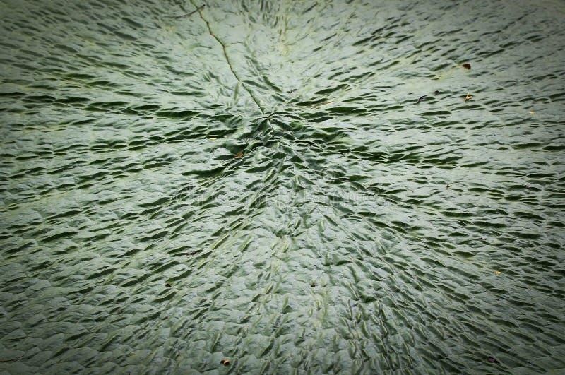 Download Wiktoria Amazonica Lotosu Liść Obraz Stock - Obraz złożonej z spokój, nadwodny: 41951563