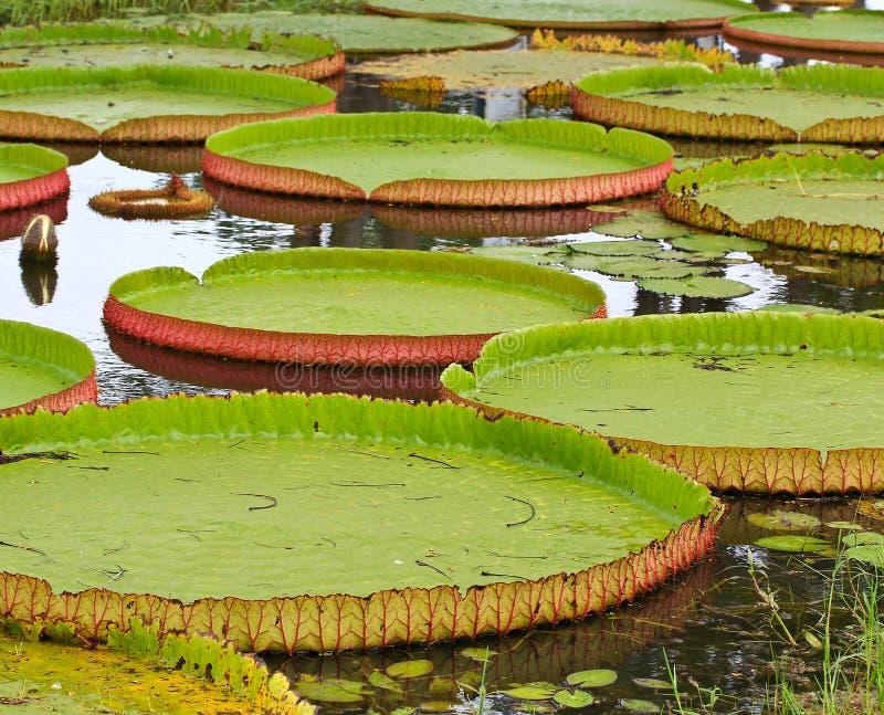 Download Wiktoria Amazonica Lotosu Liść Obraz Stock - Obraz złożonej z kwiat, kopia: 41951627