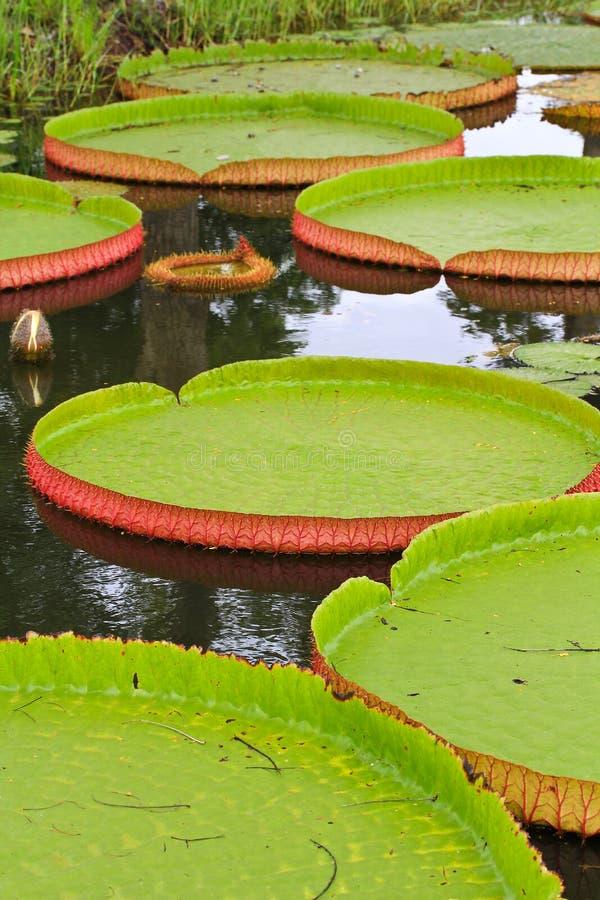Download Wiktoria Amazonica Lotosu Liść Obraz Stock - Obraz złożonej z piękny, lilly: 41951631