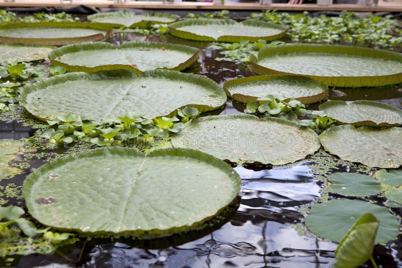 Wiktoria amazonica regia wodnej lelui liści ochraniacza gigantyczni spławowi pływakowi ochraniacze zdjęcia stock