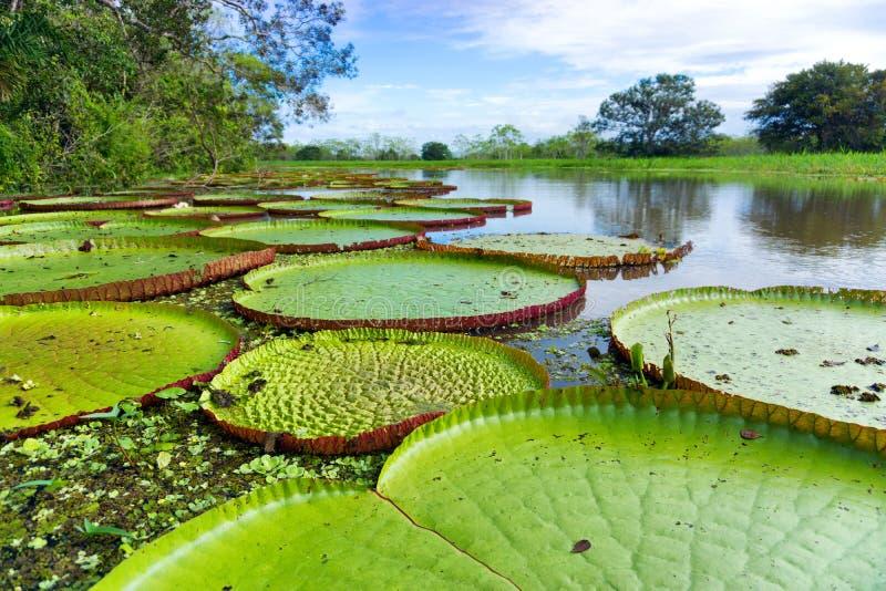 Wiktoria Regia w amazonka lesie tropikalnym obrazy stock