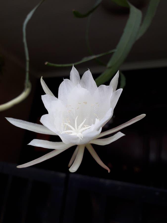 Wikus цветка стоковые фото
