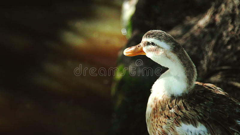 Wil Duck Closeup stock video. Image of bright, beautiful - 46621905