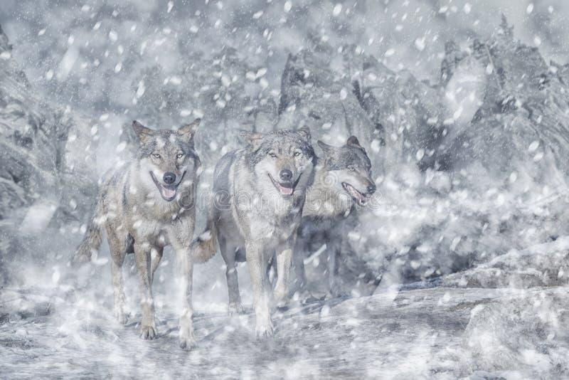 Wilcza paczka w górze, zimie i śniegu, obraz royalty free