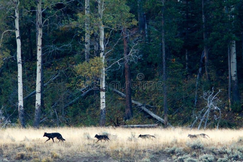 Wilcza paczka w Yellowstone zdjęcie stock