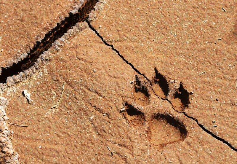 Wilczy odcisk stopy w pustyni fotografia stock