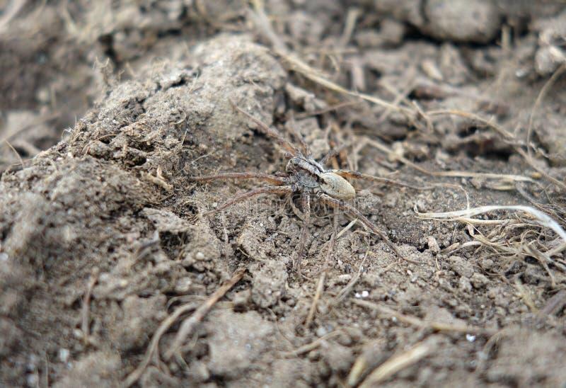 Wilczy pająk Camouflaged zdjęcia royalty free