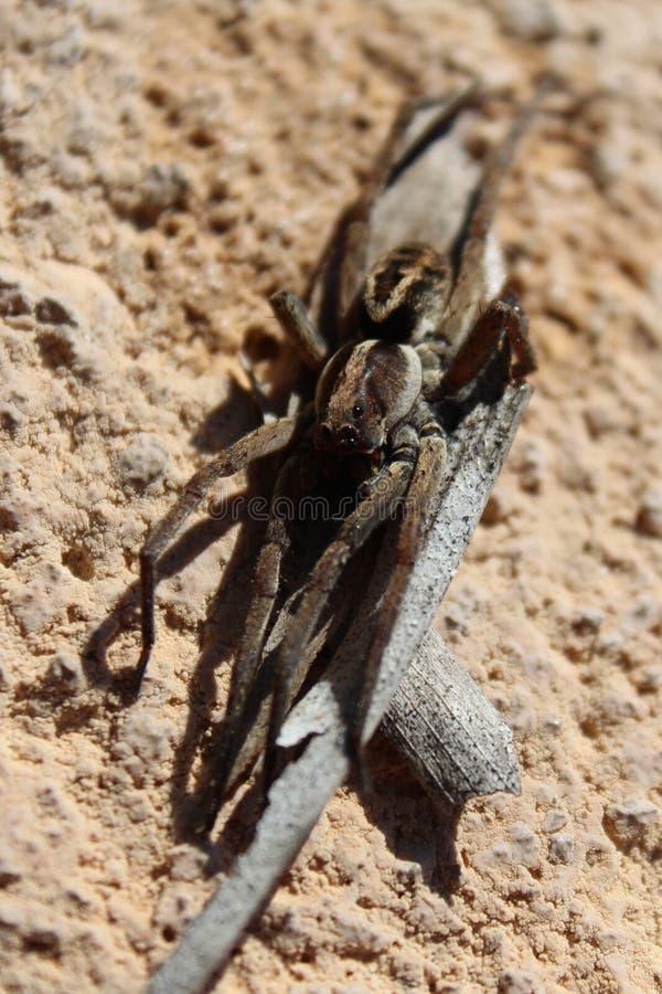 Wilczy pająk na kawałku barkentyna zdjęcia royalty free