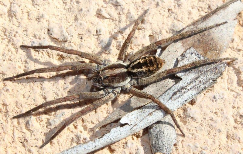 Wilczy pająk na kawałku barkentyna zdjęcie stock