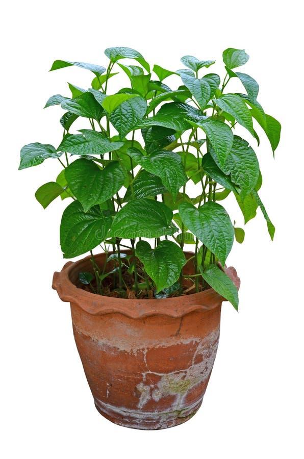 Wildà¸'betal在老棕色陶器罐的leafbush树 库存照片