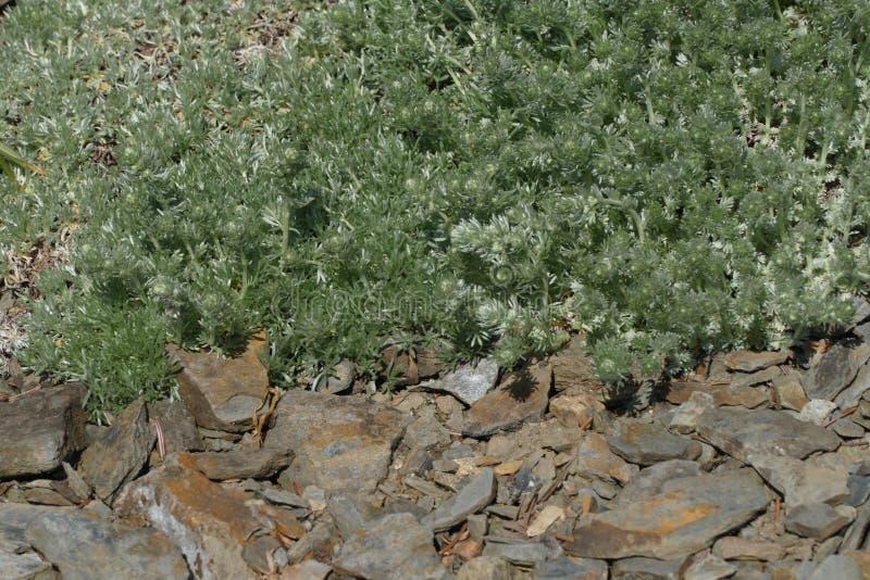Wild absinth shrub stock photo